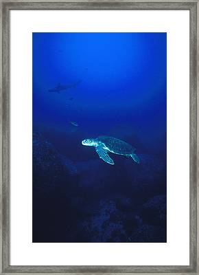 Free Swimming Green Sea Turtle Framed Print by James Forte