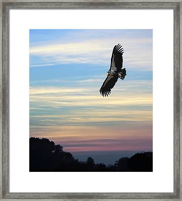 Free To Fly Again - California Condor Framed Print