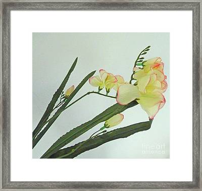 Freesia Blossoms In Pastel Colors Framed Print