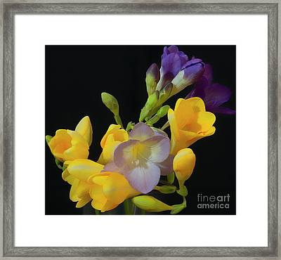 Freesias Softened 9 Framed Print