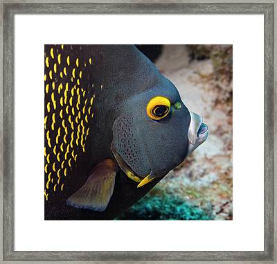 French Angel Fish Closeup Framed Print by Jean Noren