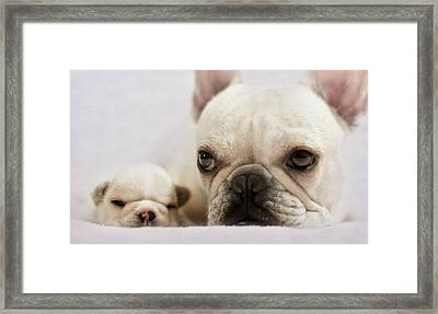 French Bulldog Framed Print by Copyright © Kerrie Tatarka