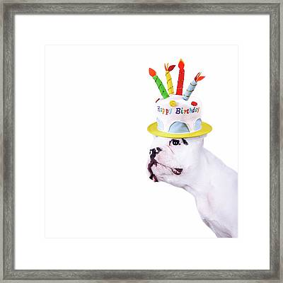 French Bulldog With Birthday Cake Framed Print