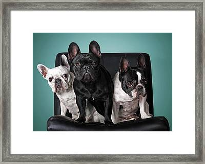French Bulldogs Framed Print by Retales Botijero