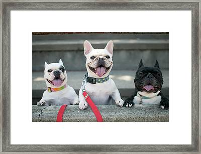 French Bulldogs Framed Print by Tokoro