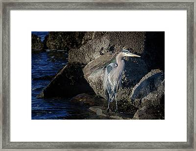 Framed Print featuring the photograph French Creek Heron by Randy Hall