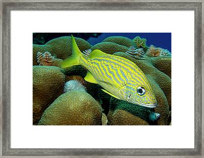 French Grunt Framed Print by Jean Noren