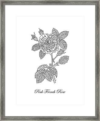 French Rose Botanical Drawing Black And White Framed Print