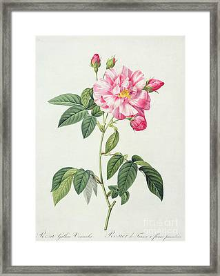 French Rose Framed Print