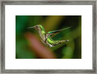 Frequent Flyer 2, Mindo Cloud Forest, Ecuador Framed Print by Venetia Featherstone-Witty
