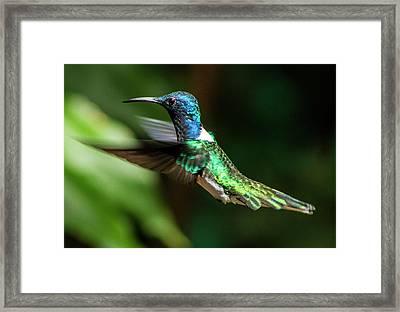 Frequent Flyer, Mindo Cloud Forest, Ecuador Framed Print