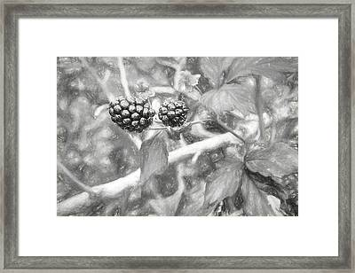 Fresh Alabama Blackberries In Black And White Framed Print by JC Findley