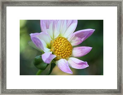 Fresh As A Dahlia Framed Print