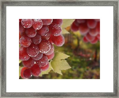 Fresh Grapes On Vine Framed Print by Lanjee Chee
