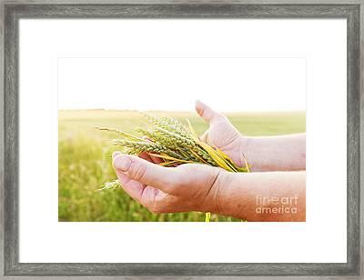 Fresh Green Cereal Grain In Farmer's Hands Framed Print