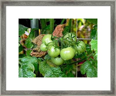 Fresh Green Tomato On Tree 1 Framed Print by Lanjee Chee