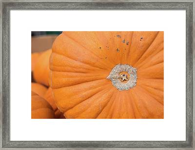 Fresh Organic Orange Giant Pumking Harvesting From Farm At Farme Framed Print