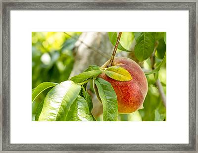 Fresh Peach Hanging In Orchard Framed Print