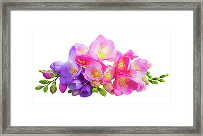 Fresh Pink And Violet Freesia Flowers Framed Print