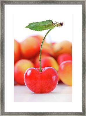 Fresh Ripe Cherries Isolated On White Framed Print by Sandra Cunningham