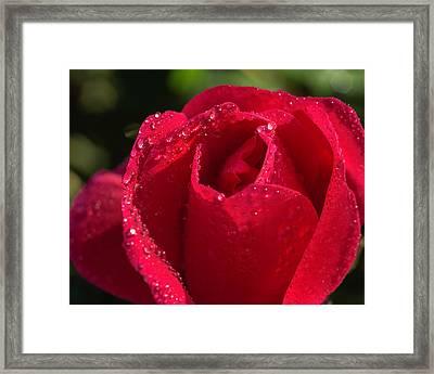 Fresh Rose Framed Print