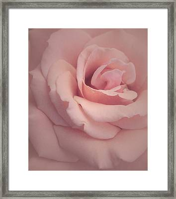 Fresh Sweet Pink Rose Framed Print by The Art Of Marilyn Ridoutt-Greene