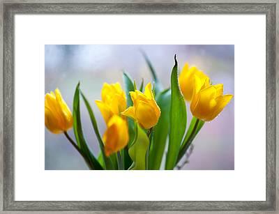 Fresh Yellow Tulips Framed Print by Jenny Rainbow
