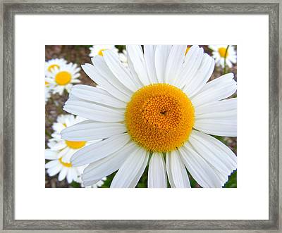 Fried Eggs Framed Print by Ed Smith