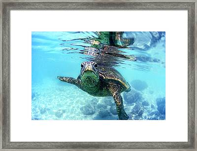 friendly Hawaiian sea turtle  Framed Print