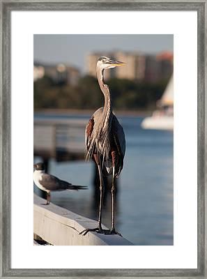 Friendly Heron Framed Print by Debra Forand