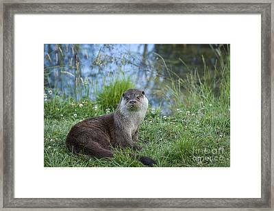 Friendly Otter Framed Print by Philip Pound
