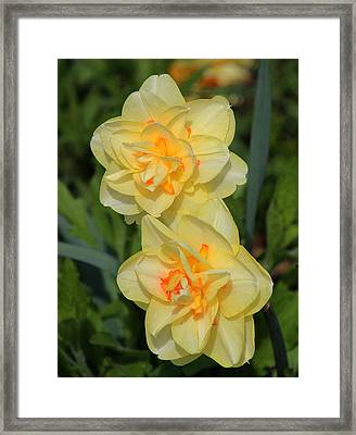 Friendship Daffodils Framed Print by Rosanne Jordan