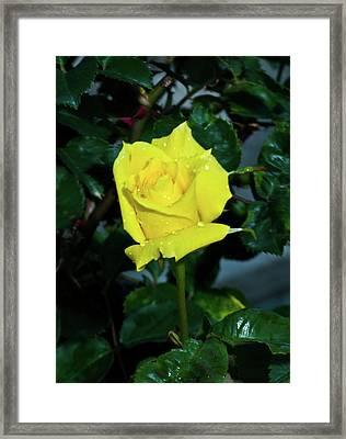 Friendship Yellow Rose With Dewdrops Framed Print by Douglas Barnett