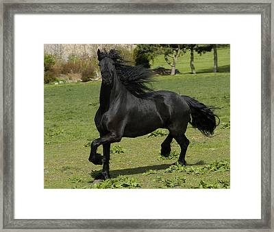 Friesian Horse In Galop Framed Print