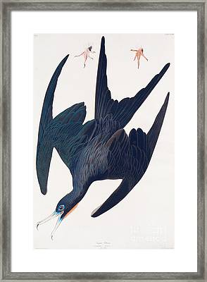 Frigate Penguin Framed Print by John James Audubon