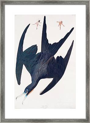 Frigate Penguin Framed Print