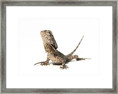Frilled Dragon Framed Print by Www.tommaddick.co.uk