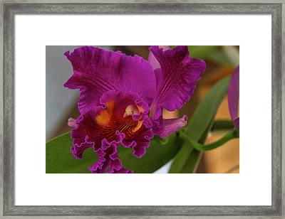 Frilly Orchid Framed Print by Alana Thrower