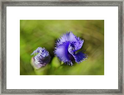 Framed Print featuring the photograph Fringed Gentian by Ann Bridges