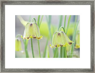 Framed Print featuring the photograph Fritillaria Crassifolia by Tim Gainey