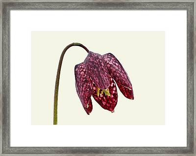 Framed Print featuring the photograph Fritillaria Meleagris - Cream Background by Paul Gulliver
