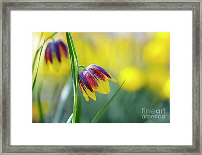 Framed Print featuring the photograph Fritillaria Reuteri by Tim Gainey