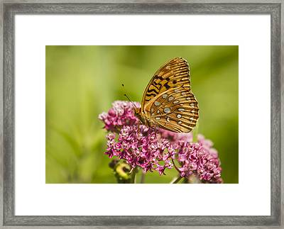 Fritillary On Milkweed 2014-1 Framed Print by Thomas Young