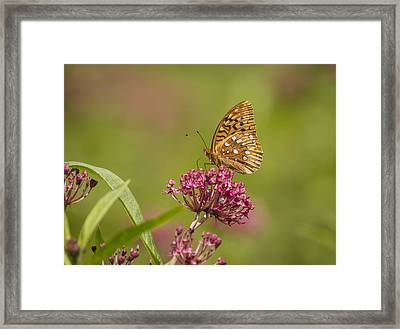 Fritillary On Milkweed 2014-2 Framed Print by Thomas Young