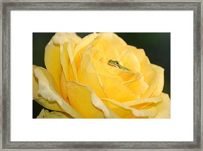 Frog In Yellow Rose Framed Print by Kathy Gibbons