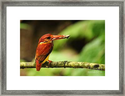 Frog Mouthed Framed Print by Star Ship