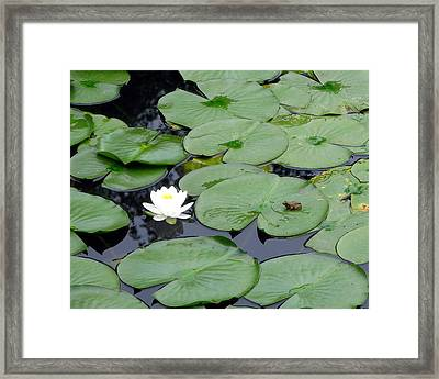 Frog On Lily Pad Framed Print