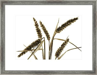 From Golden Fields Framed Print by Terence Davis