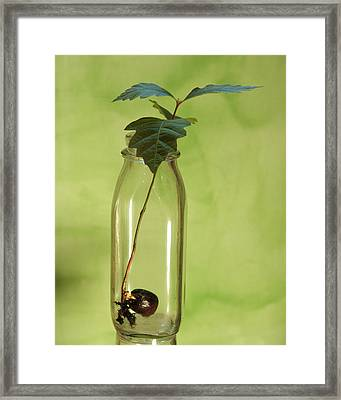 From Little Acorns Framed Print by Kevin Callahan