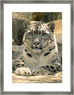 Frontal Portrait Of A Snow Leopards Framed Print